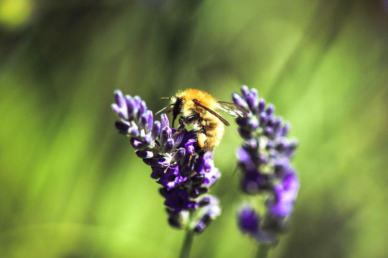 Bienen- und Hummelsterben entgegenwirken