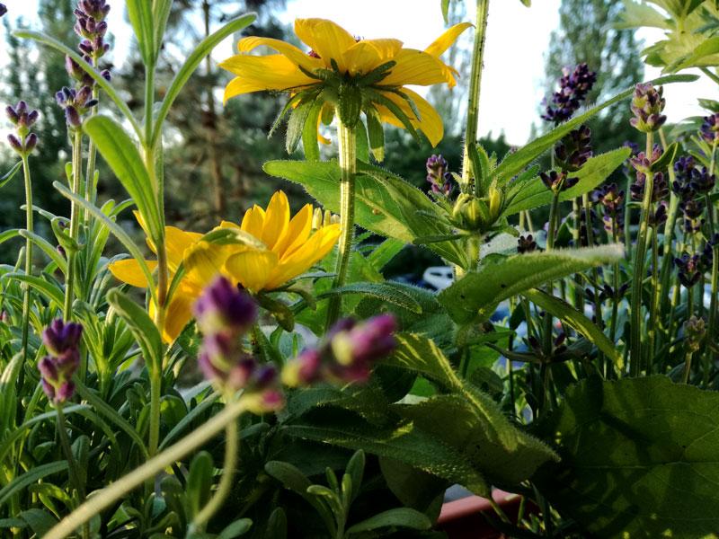 Sonnenhut Lavendel Rittersporn Biene Hummel