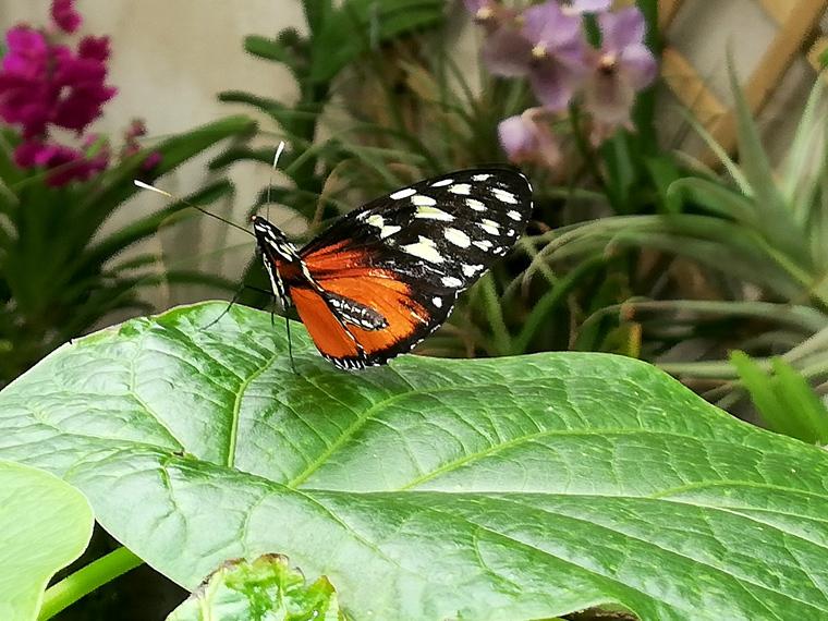 Ein Schmetterling im Schmetterlingshaus in der Biosphäre