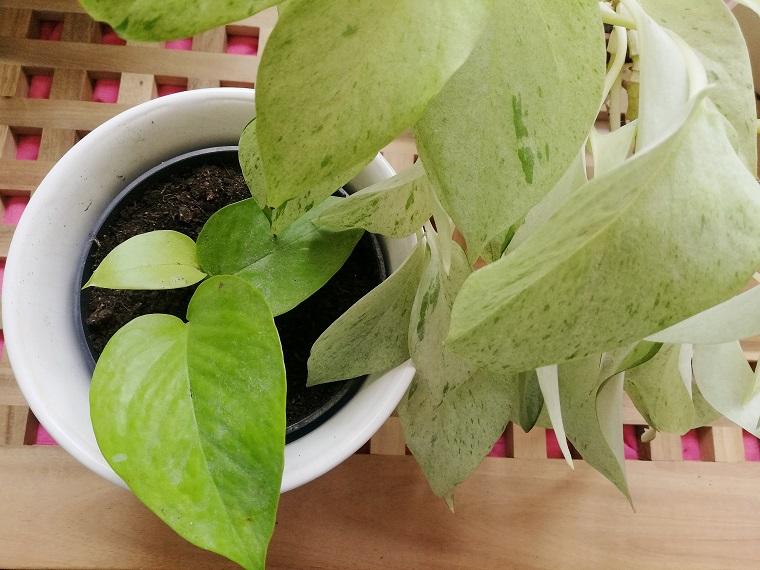 Efeutute als Zimmerpflanze