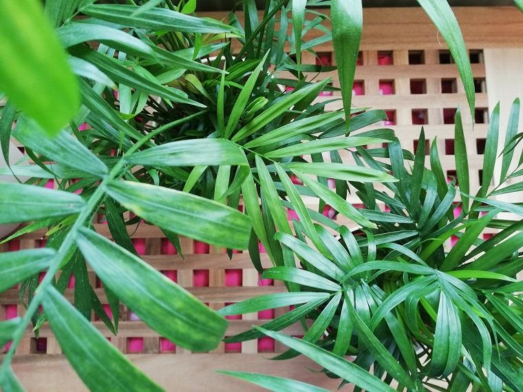 Pflegeleichte Zimmerpflanze Bergpalme