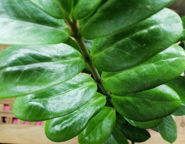 Zimmerpflanze Glücksfeder Schattenpflanze fürs Zimmer