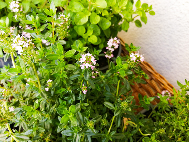Kräuter pflanzen auf dem Balkon Tipps