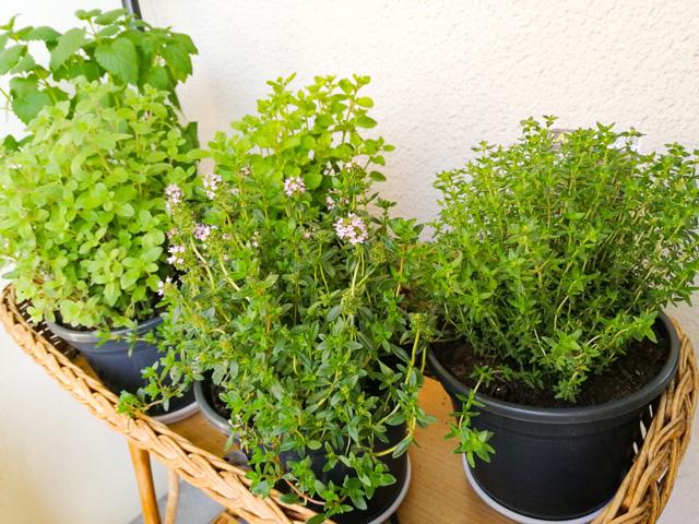 Tipps zur Pflege von Kräuterpflanzen